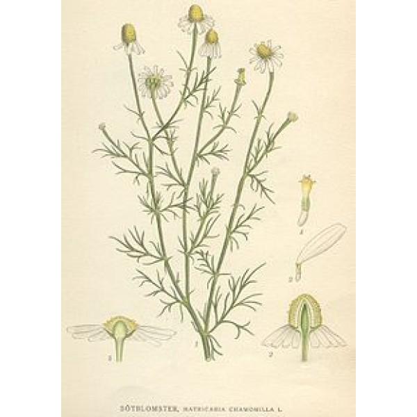 Chamomilla Matricaria